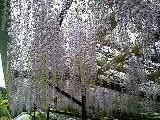 藤の花を見に行こう